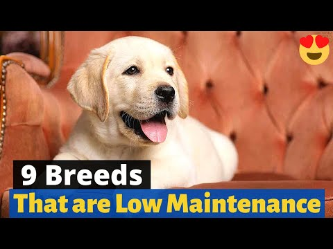 9 Low Maintenance Dog Breeds For Busy People 🐶