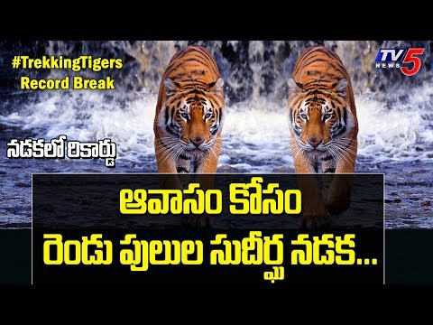 Two Tigers Journey | Trekking Tigers Record Break in Walking | Wildlife Tiger Documentary | TV5