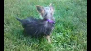 Yorkie Puppy Gets Trampled By A Dachshund