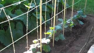 Cucumber Trellis June 2011_0001.wmv