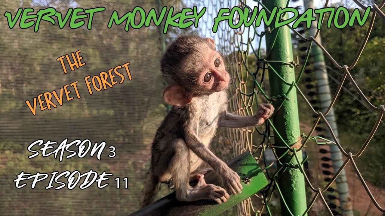 Download #BabyMonkey integrations, New arrivals, baby Samango Monkey Intro - Season 3 ep 11