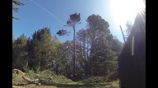 Pine tree removal in Christchurch City - How to Remove a tree!