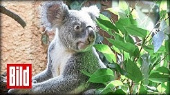 Koala-Fütterung im Leipziger Zoo - Oobi-Ooobi schwelgt im Eukalyptus-Himmel