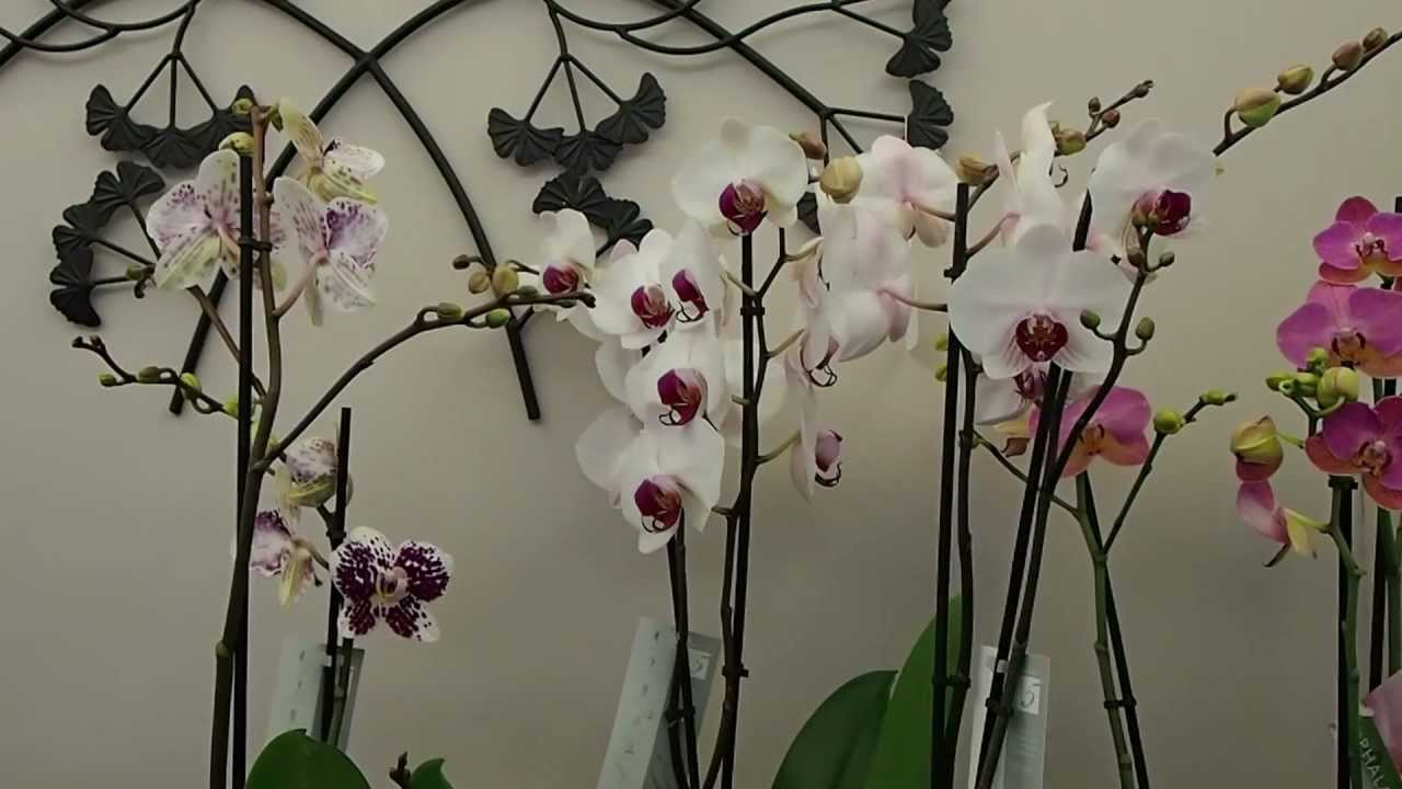 orchid e entretien youtube. Black Bedroom Furniture Sets. Home Design Ideas
