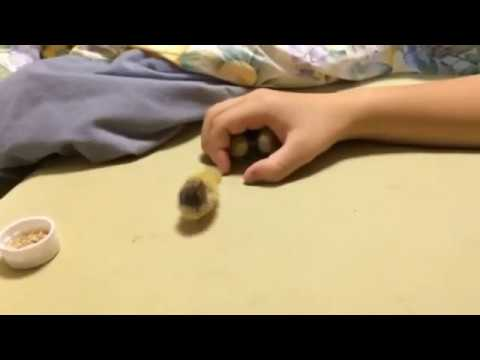 Tiny chicks tubes images 42