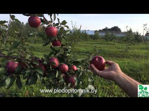Яблоня. Сорта яблонь. Как выращивают яблоню.