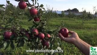 видео Яблоня Алеся
