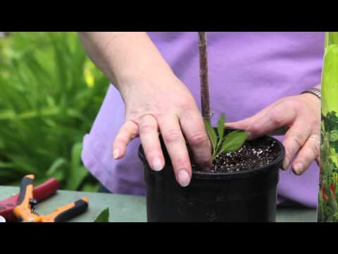 How to Grow Forsythia From Plant Cuttings : Grow Guru