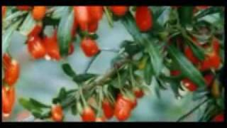 Himalayan Goji Berry Ancient History Part 2