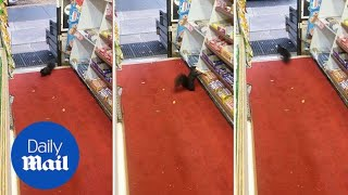 Sneaky squirrel! Animal steals chocolate bar from store - Daily Mail