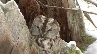 UGGLOR  I  VÄSTMANLAND  OWLs IN SWEDEN   Klipp - 501