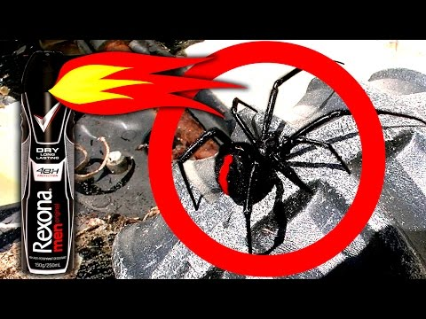 Redback Black Widow Spiders On Childrens Tonka Truck Toys Spider Infestation Scary Video