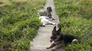 Balanced Obedience Dog Training Of Hawaii - Off Leash Labrador & Shepherds