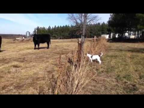 Dog get shocked by fence