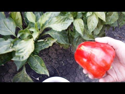 Собираю последний урожай перца Геркулес F1   приусадебное   хозяйство   последний   сладкого   геркулес   урожая   урожай   перцев   огород   перцы
