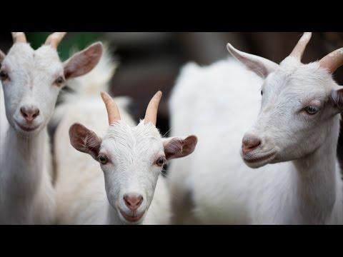 Curso Criação de Cabras Leiteiras - Manejo na Fase de Cria