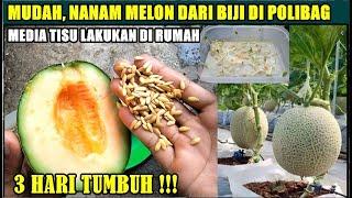 Cara Mudah Nanam Melon Dari Biji Di Polibag Lakukan Di Rumah
