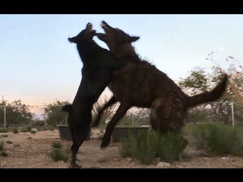 Wolf VS Agressive Dog (labeled vicious) -- pit bull x heeler mix (?)
