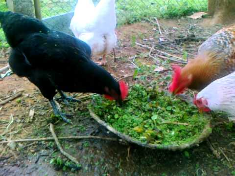 Genial Organic Backyard Small Poultry