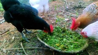 Organic Backyard Small  Poultry