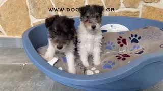 fox terrier wire males available