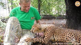 Магическое мурлыканье гепарда. Роза и Фараон. Тайган. Cheetah