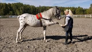 Дрессировка лошадей, практические уроки.