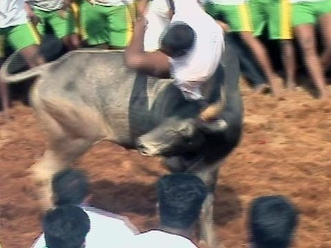 Jallikattu Part 1