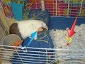 Guinea pig cages ideas