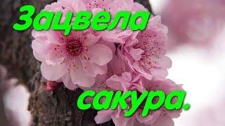 Сакура зацвела в Одессе Начало зимы Зимняя вишня Цветение сакуры Аномалия
