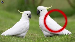 Gila Suara Burung Kakatua Di Alam Liar Cacatuidae