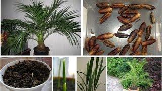 видео Фрукт кумкват выращивание в домашних условиях: посадка, уход и фото, размножение, удобрения и подкормка