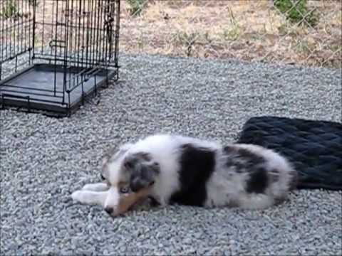 Lacie - Adorable Blue Merle All-Star Mini Aussie - Puppy Training Video www.allstarminiaussies.com