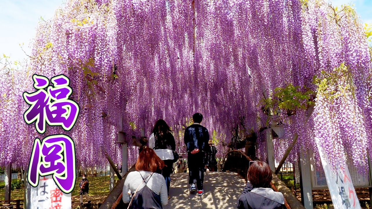 About 600-year-old Wisteria trees are in full blossom at FUKUOKA 2021.#中山大藤 #黒木の大藤 #藤山神社  #4K #藤