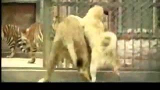 Turkish Kangal Attacks Lion.. 2 2 - YouTube.flv