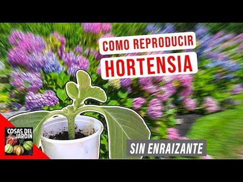 COMO REPRODUCIR HORTENSIAS POR ESQUEJE - FACIL - EL MEJOR METODO