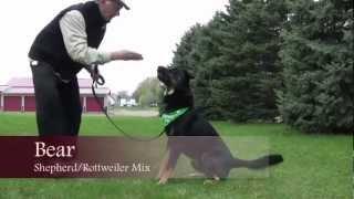 Bear: Shepherd/rottweiler Mix