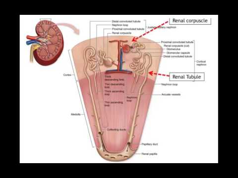 Physiology 4 All: S1. E1- Physiology of the Kidneys (En)