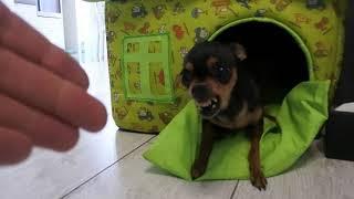 Самый маленький и злой среди собак.