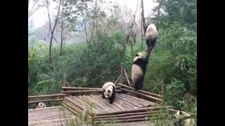 SHORT FUNNY VIDEO OF A PANDA