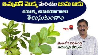 ఇన్సులిన్ మొక్క & జామ ఆకు యొక్కఉపయోగాలుతెలుసుకుందాం||Ashokvardhan Reddy||nelg||Insulin plant||Yes Tv