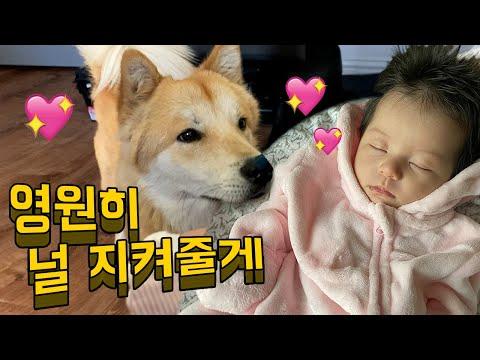 갓난아기가 자고있을 때 수컷 진돗개가 하는 귀여운 행동