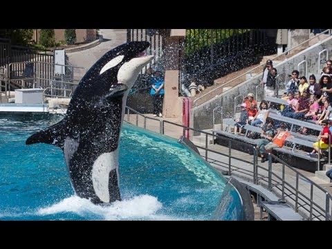 SeaWorld to End Killer Whale Breeding