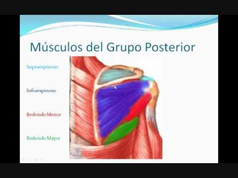 Miologia Miembro Superior 1 (GENERALIDADES Y HOMBRO) - YouTube