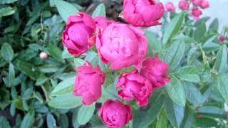 Миниатюрные бордюрные розы: Гранатовый браслет