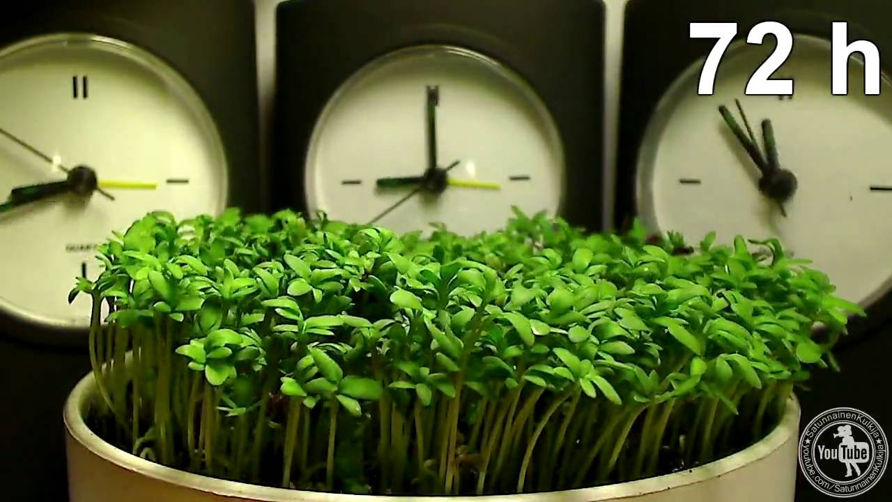 High Quality Time Lapse   Garden Cress   YouTube