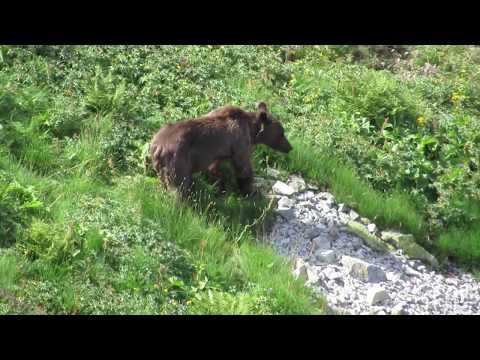 Очень худой медведь жадно ест траву. Это уже конец лета, а у него ещё рёбра под шерстью видны.