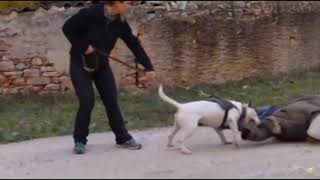 5 LEGENDARY DOG FIGHTING BREEDS
