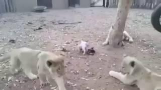 Трое на одного. Собака против львов