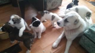 Алабаи. САО. Собаки дома. Отношение между собой. Учат щенков...